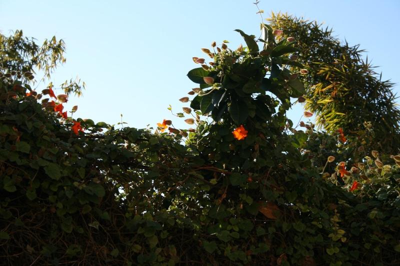 Le Thunbergia gibsonii Thunbe27