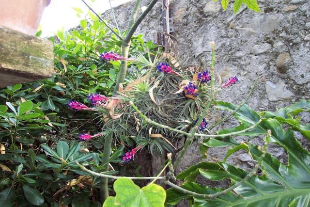 mini plante a identifier [Tillandsia bergeri] Tillan10