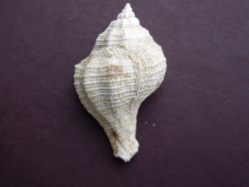 [résolu]des murecoidaea qui reprennent vie Imgp1511
