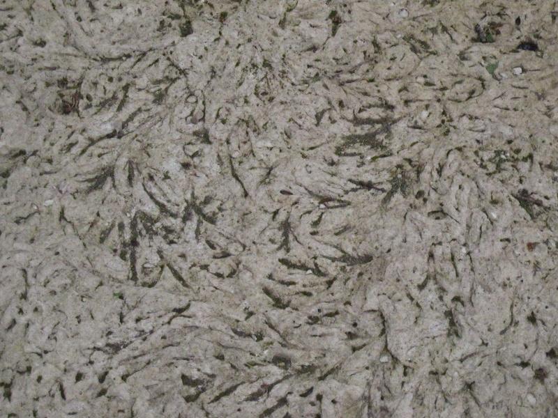 Algue brune Lutétien 26_avr13