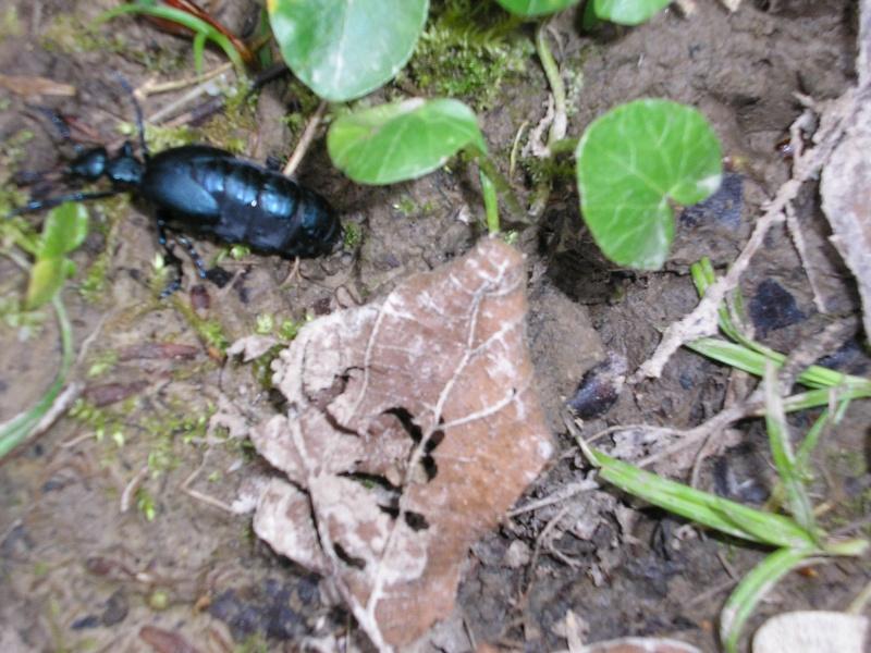 Grand coléoptère noir Avril_11