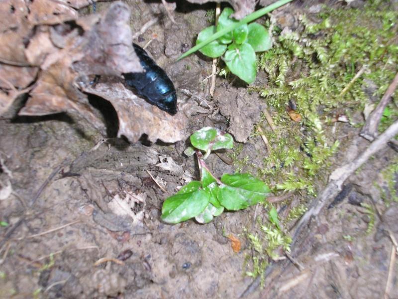 Grand coléoptère noir Avril_12