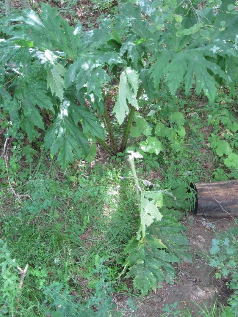 Heracleum mantegazzianum  la Berce du Caucase Juille44
