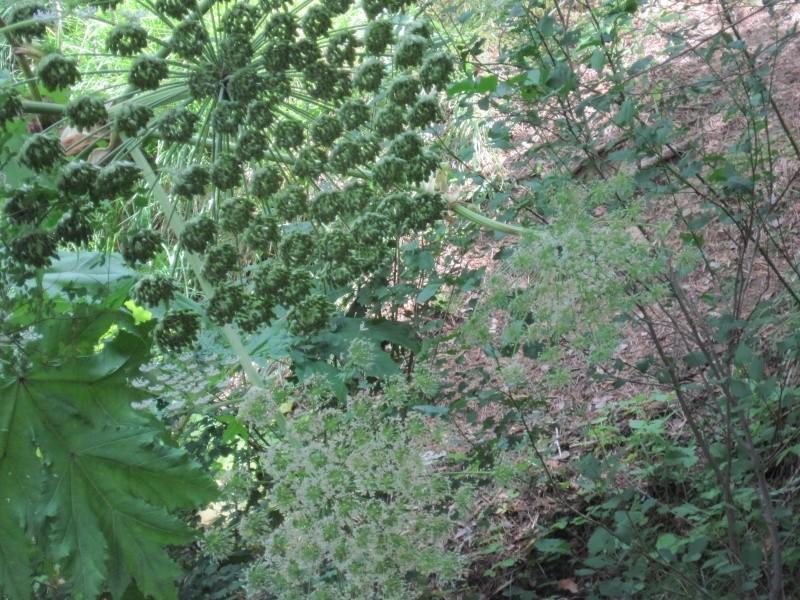 Heracleum mantegazzianum  la Berce du Caucase Juille45