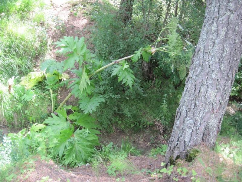 Heracleum mantegazzianum  la Berce du Caucase Juille46