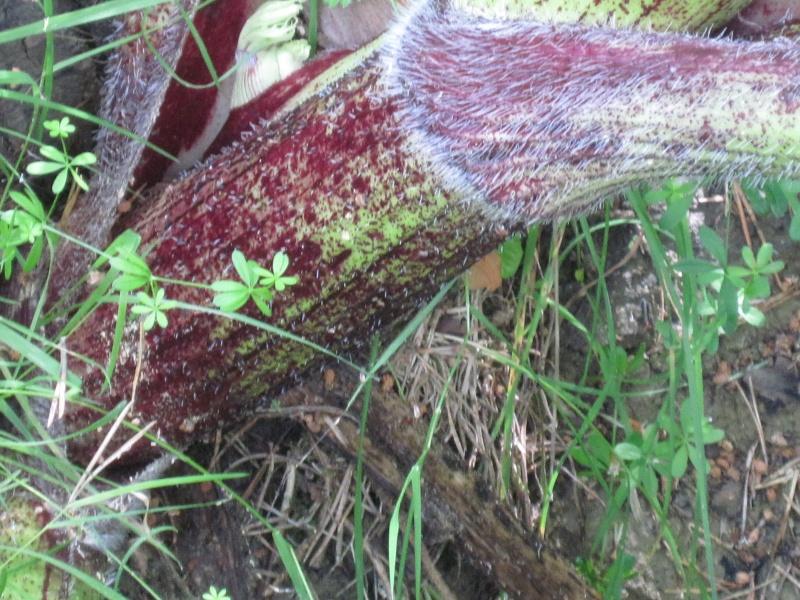 Heracleum mantegazzianum  la Berce du Caucase Juille47