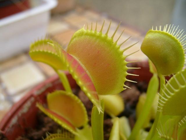 Ma plante carnivore !!! Dionee12