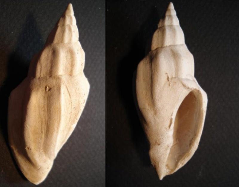 [résolu]Eopsephaea muricina du Lutetien 310
