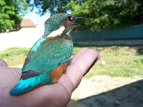 un zozio Oiseau10