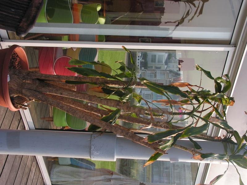 Conseil sur une plante (photo) [Dracaena fragrans] Pict0150