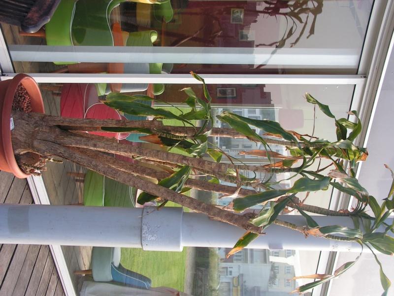 Conseil sur une plante (photo) [Dracaena fragrans] Pict0151