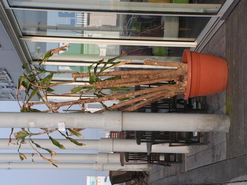 Conseil sur une plante (photo) [Dracaena fragrans] Pict0153