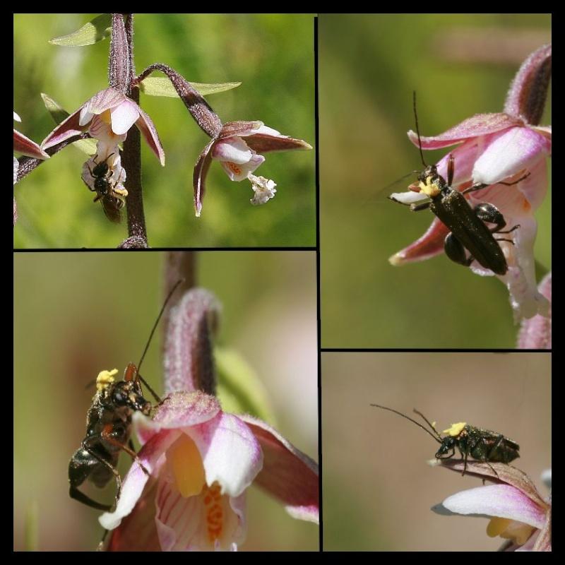 Sur Epipactis palustris Epi_pa10