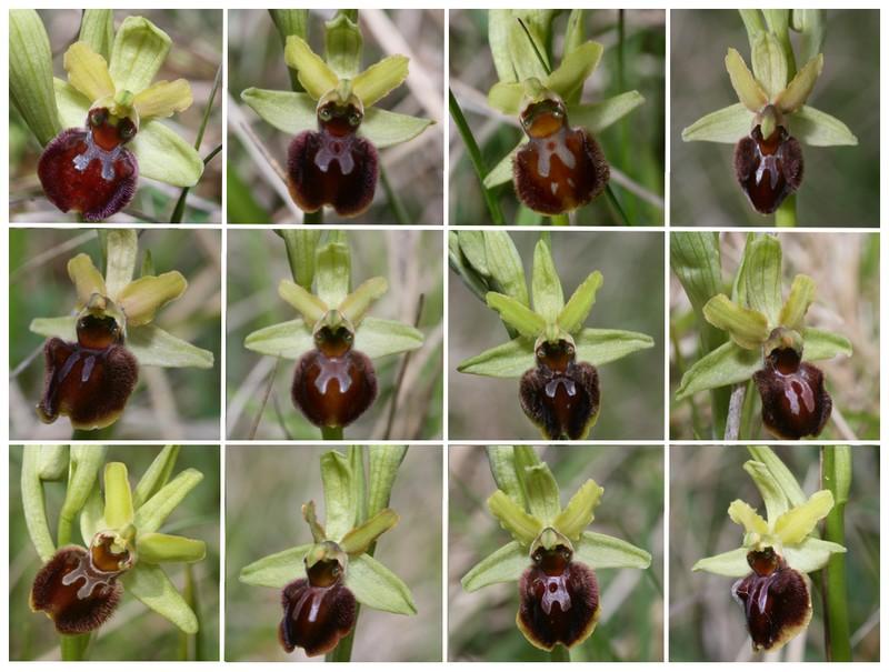 Ophrys aranifera ( = sphegodes , Ophrys araignée ) Op_ara10