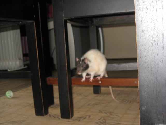 Ratus cherche une famille ou en attendant une cage plus grande... Photo_13
