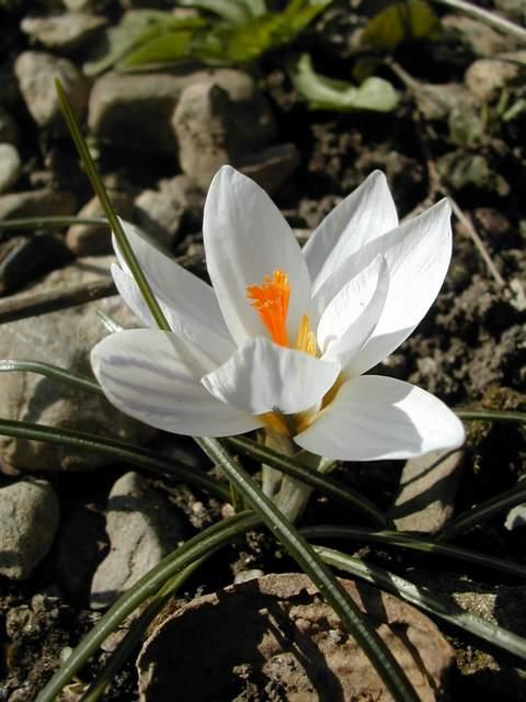 Crocus printemps 2009 - Page 2 Crocus11