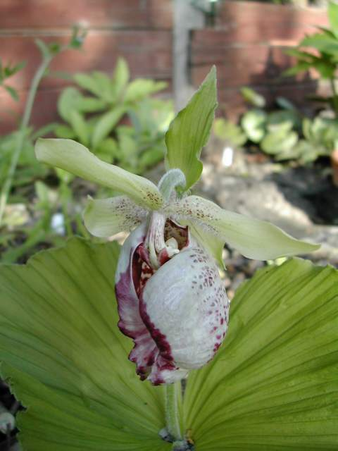 Cypripedium formosanum Cyprip13