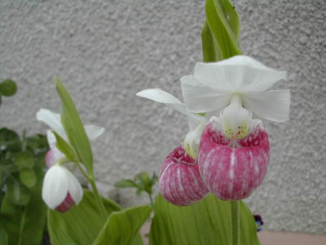 Cypripedium reginae Cyprip15