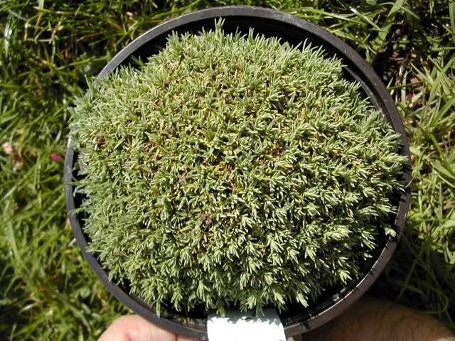 Dianthus erinaceus Dianth10