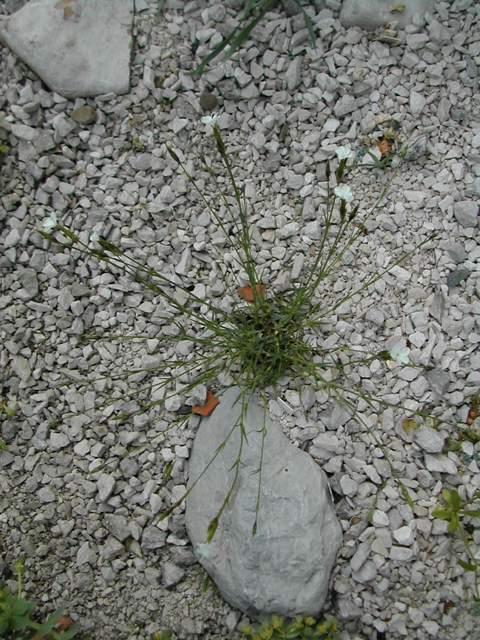 Dianthus strictus ex Turquie Dianth11