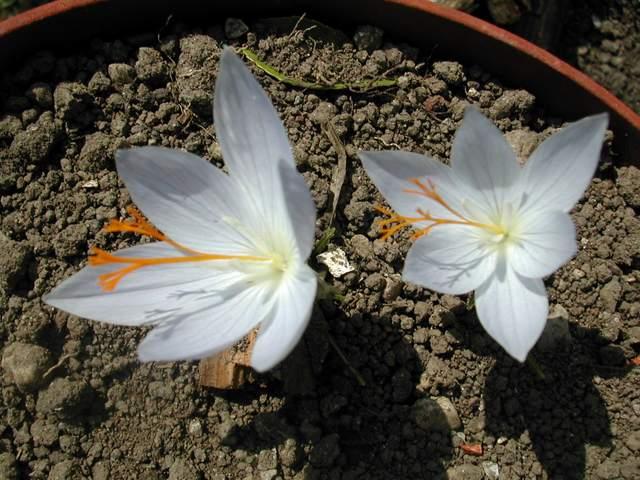 Crocus speciosus et Crocus tournefortii Dscn0310
