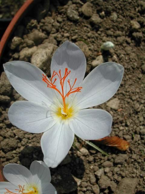 Crocus speciosus et Crocus tournefortii Dscn0311