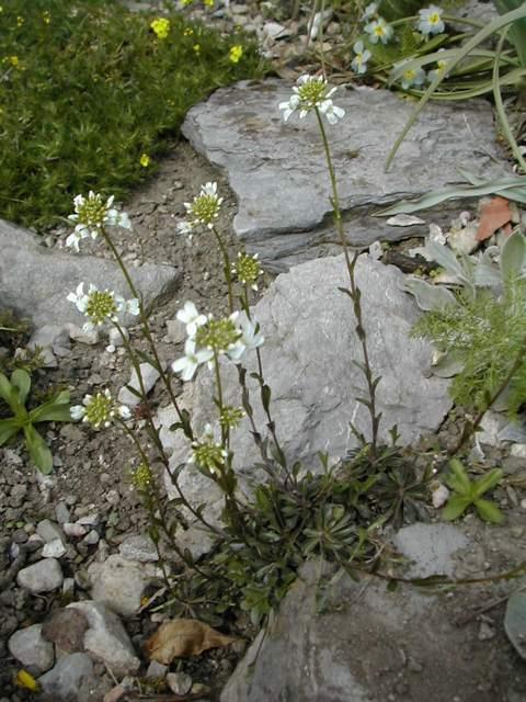 Tout début de floraison dans la rocaille Dscn8811