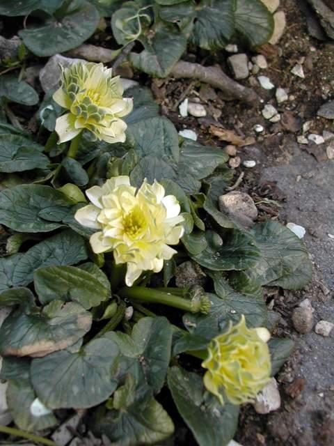 Les cultivars de Ranunculus ficaria Dscn8918