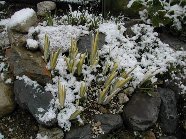 le beau feuillage d'Iris pallida aureovariegata Dscn9010
