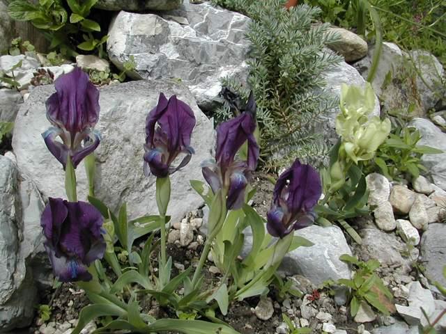 Iris reichenbachii Iris_r12