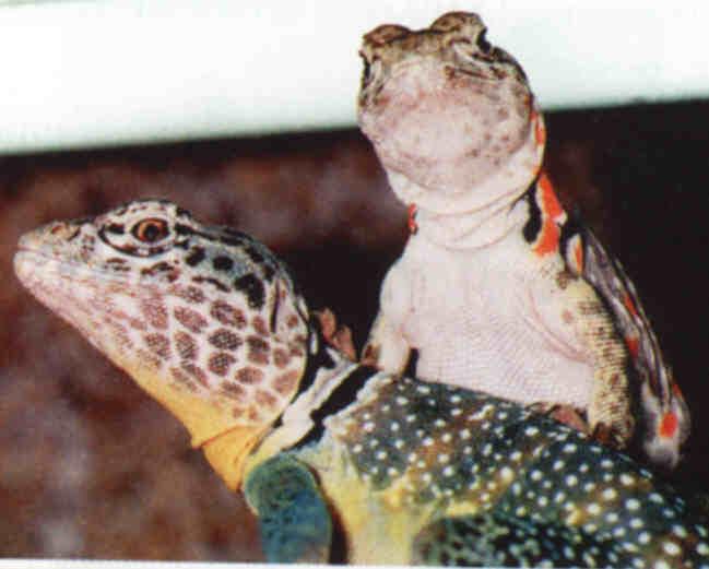 Crotaphitus insularis Cccori10