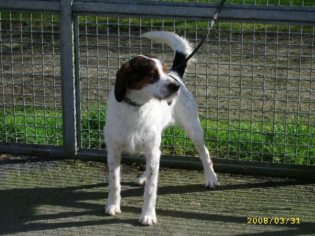 ADHOC, croisé beagle/griffon mâle, 5 ans 1/2 (56) A_voir48