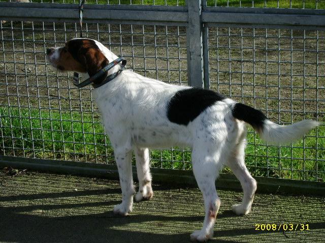 ADHOC, croisé beagle/griffon mâle, 5 ans 1/2 (56) A_voir49