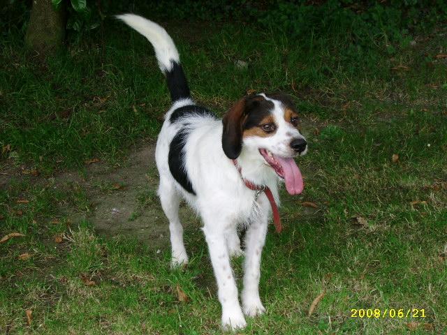 ADHOC, croisé beagle/griffon mâle, 5 ans 1/2 (56) Juin0821