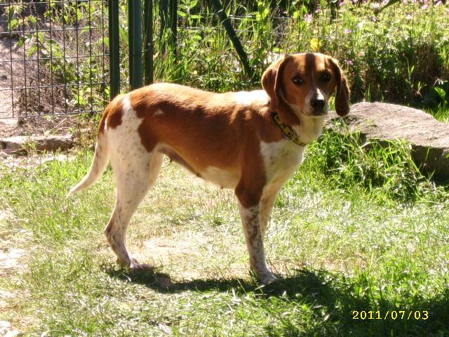"""GAVOTTE,  croisée beagle harrier, 8 ans (56) - Asso """"Coeur Sur Pattes"""" Juin1114"""