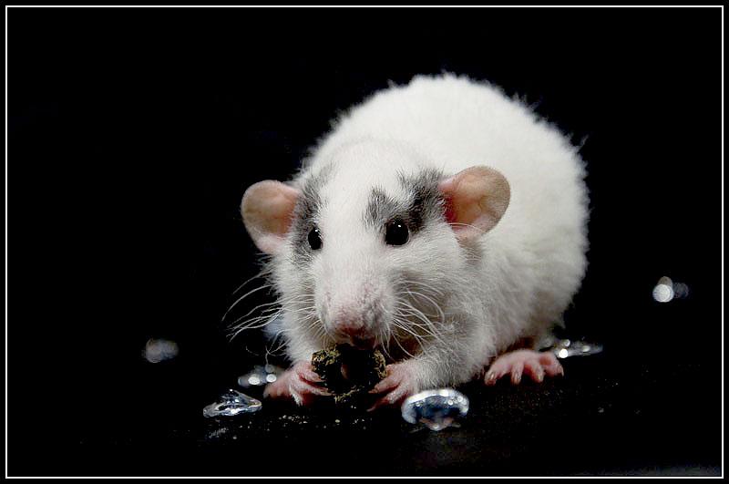 [GÉNÉTIQUE]  Marquages et dilutions du rat domestique Pralin10