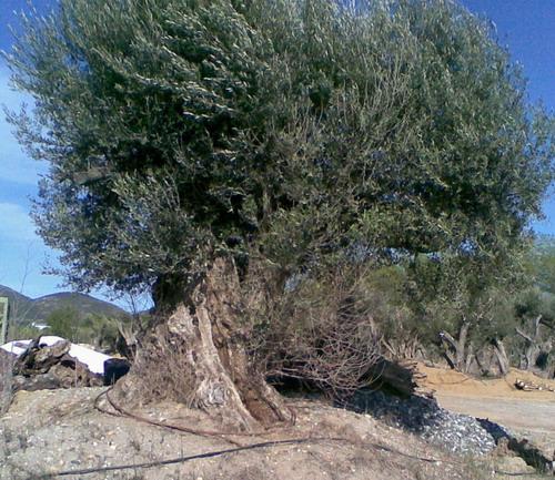 mise en forme d'un olivier Photo010