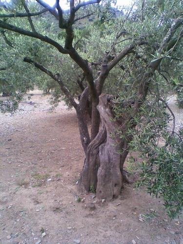 promenade dans une oliveraie, prés de Cadaques Photo022