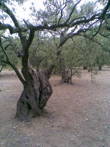 promenade dans une oliveraie, prés de Cadaques Photo023
