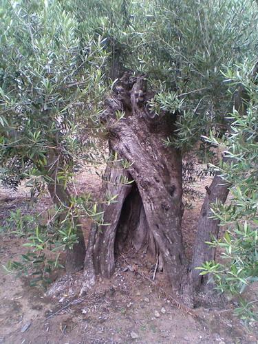 promenade dans une oliveraie, prés de Cadaques Photo024