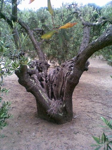 promenade dans une oliveraie, prés de Cadaques Photo025