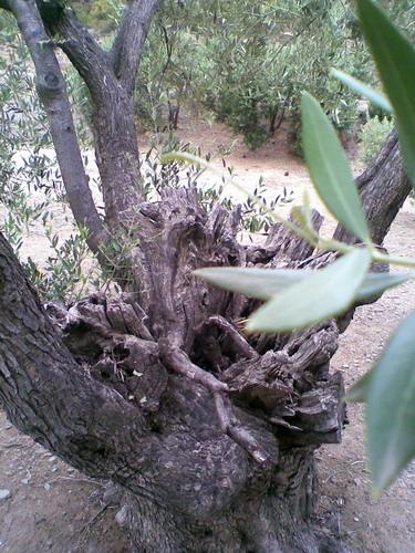 promenade dans une oliveraie, prés de Cadaques Photo027