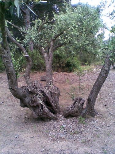promenade dans une oliveraie, prés de Cadaques Photo028