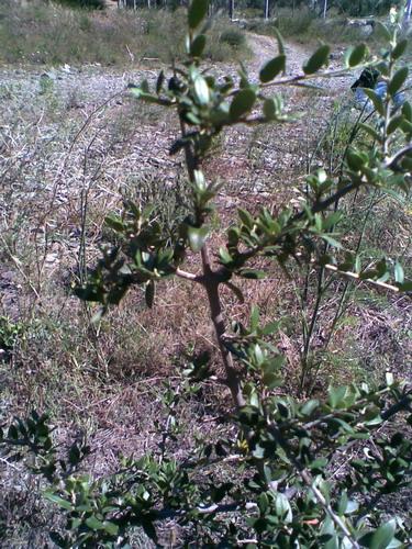 oliviers à mener en bonsai Photo114