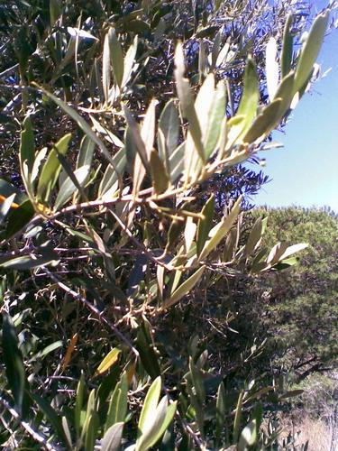 oliviers à mener en bonsai Photo115