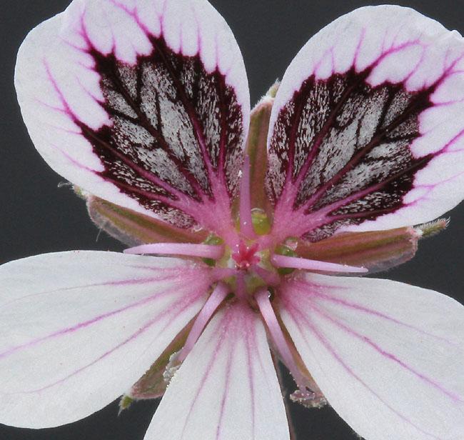 erodium chrysanthum Img_1324