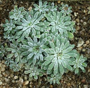 Saxifraga burseriana - Page 2 Img_1425