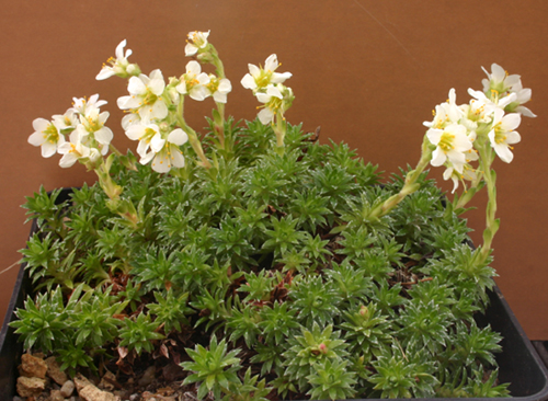 Saxifrages - Page 2 Img_1513