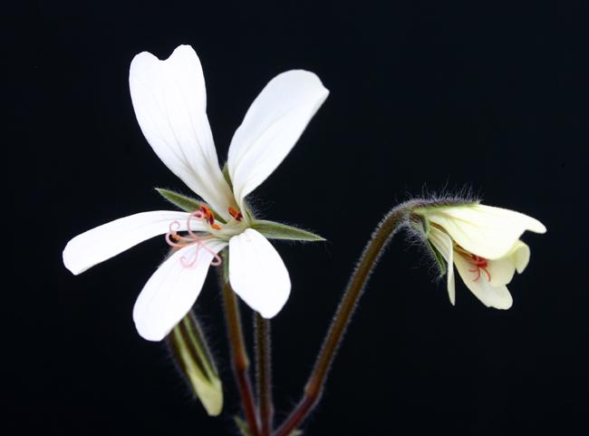 Pelargonium barklyi Img_1611