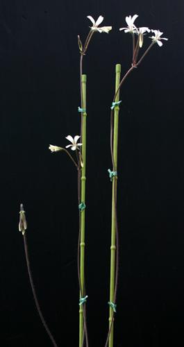 Pelargonium barklyi Img_1612